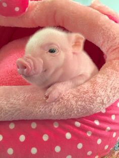 25 An adorable baby pig - meowlogy Cute Baby Pigs, Baby Piglets, Cute Piglets, Cute Baby Animals, Funny Animals, Farm Animals, Teacup Pigs, Mini Pigs, Pet Pigs