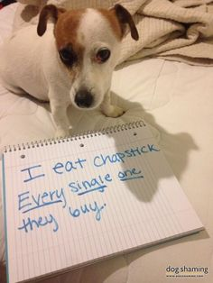 Lillian is a typical Jack Russell who loves to get into everything. Her favorite thing to do is eat Chapstick.