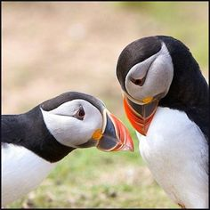 Puffins cutest birds