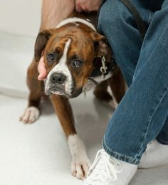 """Curing Fear with Treats and Love by Lisa Radosta, DVM, DACVB - Last week, a reader posed the question, how can you help a puppy """"that has had a traumatic experience during a fear imprint stage?"""""""