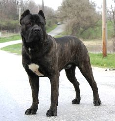 Cane Corso Mastiff | Cane corso of Bajer - Gallery of Champs