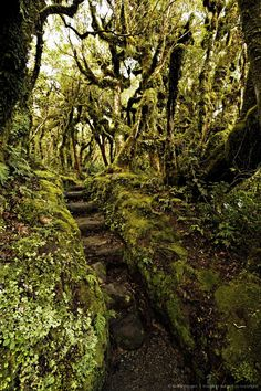 Image detail for -Native bush at Dawson Falls, where woodland is known as the Goblin forest due to trailing moss and gnarled trees, Egmont National Park, Taranaki, North Island, New Zealand, Pacific