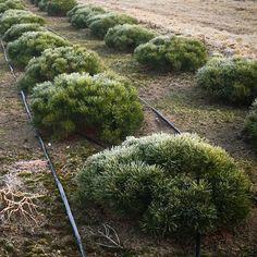 "Сосна горная Pumilio размер 40-50 X 80-100. ""Живой камень"". Розничная цена 9200 руб. Plant Nursery, Plants, Vivarium, Plant, Planets, Green Houses"