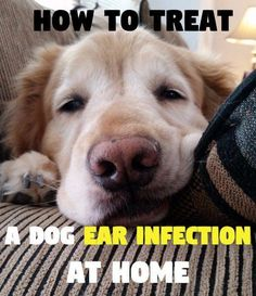 I'm sharing with you an effective home remedy and an over-the-counter product that I've used to treat my dogs' ear infections at home.