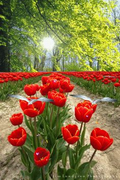I'm glad you love nature! Welcome to the Nature Photos community. Flowers Gif, Flowers Nature, Red Flowers, Red Roses, Beautiful Flowers, Red Tulips, Beautiful Gif, Beautiful Pictures, My Flower