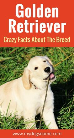 Why dogs eat grass via kaufmannspuppy pets pinterest everything you need to know about the golden retriever size behavior health and so fandeluxe Images