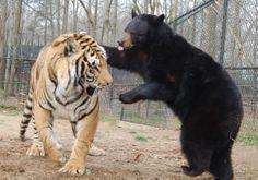 Doc (tiger) & Little Anne (bear) are the best of friends!  Doc + Little Anne = Best Friends www.noahs-ark.org  #bear #tiger #oddcouple #bestfriends #bff #noahsark #unlikely #animal #friendship