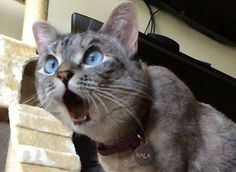 Funniest Cats Faces and Reactions: Mood Transformers - Gifts and more - Funny Animal Pictures-Cats and Dogs: Pets Are Mood Changers - Funny Cat Faces, Cute Funny Animals, Funny Animal Pictures, Cute Baby Animals, Cute Cats, Funny Cats, Funniest Animals, Silly Cats, Smiling Animals