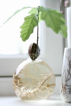 Growing an oak tree from an acorn Bottle Garden, Water Garden, Indoor Garden, Indoor Plants, Welcome To My House, Plants Are Friends, Nature Aesthetic, Nature Plants, Large Plants