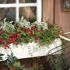 Window boxes are planted to be seen only from the front, so be sure to place your tallest varieties in the back, and your spillers towards the front. 'September Morning' has a great combination of texture and color, which is set off by the clean white color of the container.