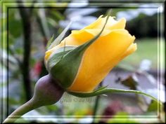 Letzte Rose  Gruss 3kkk@s