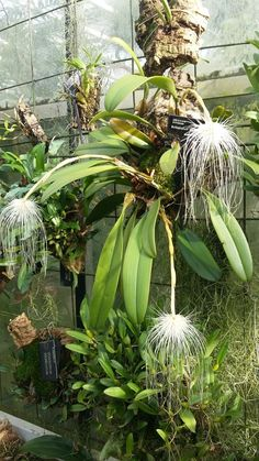 Bulbophyllum medusae Hanging Orchid, Orchids Garden, Wild Orchid, Rare Plants, Bonsai, Gardening Tips, Planting Flowers, Christmas Wreaths, Orchid Flowers
