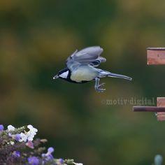 Die Meise hat sich am Meisenkasten ein Vogelkorn geholt und fliegt wieder fort.
