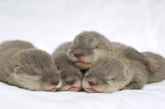 Sea otter pups, they're so cuteee