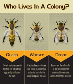 Backyard Bee Keeping: 3 Types of Bees in a Colony information by Eco-Echo Foundation Bee Hive Plans, Beekeeping For Beginners, How To Start Beekeeping, Worker Bee, Raising Bees, I Love Bees, Backyard Beekeeping, Bees And Wasps, Bee Friendly