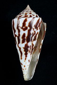 Apertural view of shell of Kohniconus emarginatus Reeve, 1844, with operculum, measuring 80.0 mm in height, collected in the Bay of Chiriqui, Panama.