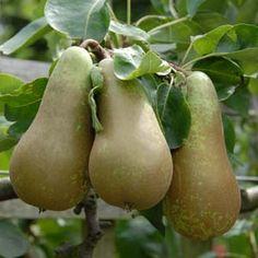 Concorde Pears on tree