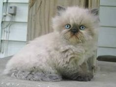 The Himalayan Cat Breed