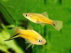 Pair of Golden Swordtail Freshwater Aquarium, Aquarium Fish, Aquarium Ideas, Colorful Fish, Tropical Fish, Aquariums, Swordtail Fish, Saltwater Tank, Saltwater Aquarium