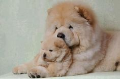 Chow Chow mother with her little puppy