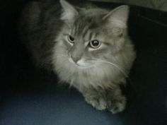 FLUFFY BOY L. is an adoptable Maine Coon Cat in Woodbury, NJ. Fostered in Mullica Hill, NJ Rescue Date: 5/18/2010 - Adopted 8/18/10 - RETURNED TO RESCUE 1/3/2013 Fluffy Boy is a very sweet and laid ba...