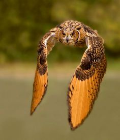 Great Horned Owl in flight    By Stefano Ronchi  http://500px.com/RonchiStefano