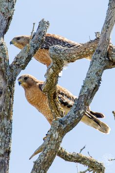 Red-shouldered Hawk Pair After Copulation Pictures Of The Week, Backyard, Blog, Red, Animals, Patio, Animales, Animaux, Backyards