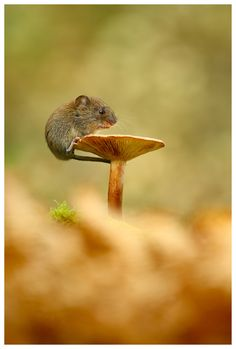 A young wild Bank Vole feeding from the top of a Butter Cap mushroom.