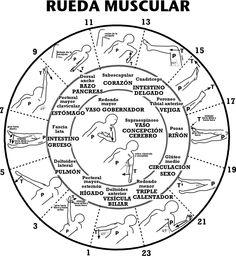 Meridianos y músculos