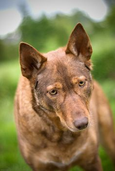 American Indian Dog by Bisig Wedding & Portrait Photography, via Flickr