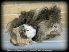 Guinea Pigs- Great pets for kids 10 and up.