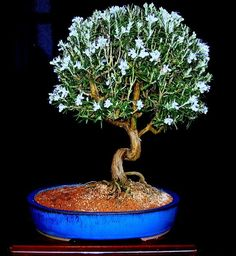 """Rosemary bonsai.. """"potted in cat litter, fed on tomato fertilizer several times a year""""...rosemary likes it dry, but this technique is amazing"""