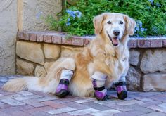 http://This Adorable Therapy Dog Is Also A Quadruple Amputee