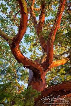 PACIFIC MADRONE TREE IMAGES | madrone prints available a pacific madrone tree at sunset on shaw ...