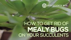 How to get rid of mealy bugs on succulents While it's not hard to get rid of mealy bugs, you need to be very patient as it can take a while to completely get rid of them 😉 Types Of Succulents, Growing Succulents, Succulents In Containers, Succulents Diy, Planting Succulents, Indoor Succulents, Succulents Painting, Succulents Wallpaper, Succulents Drawing