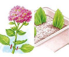 Bouturage de vivace, plante et arbuste - Bouture de feuille                                                                                                                                                                                 Plus