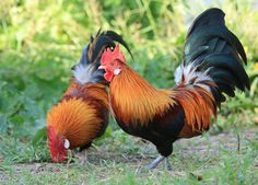 Red Junglefowl - Rare Breed Chicks for Sale | Cackle Hatchery