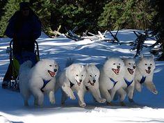Amazing photo of a six-dog Samoyed sled dog team running on a fan-hitch.