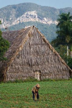 Tabaksveld en droogschuur in Cuba. Cuban tobacco field and a curing barn. www.eenhoorn.eu
