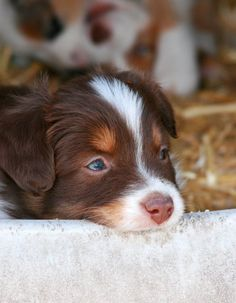Australian shepherd puppies, aussie dogs, mini aussie, cute dogs and puppie Australian Shepherd Puppies, Aussie Dogs, Mini Aussie, Australian Shepherds, Beautiful Dogs, Animals Beautiful, Cute Dogs And Puppies, Doggies, Sweet Dogs