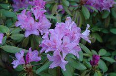 Roseum Elegans Rhododendron (Rhododendron catawbiense 'Roseum Elegans') at Arbor Farms Nursery