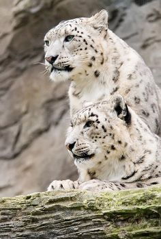 The majestic #SnowLeopard of Central and South Asia. These cats are classified as #endangered - see how you can help here: http://j.mp/EW-Snowleopard