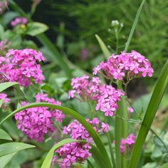 Silene armeria L. Seeds For Sale, Nursery, Plants, Baby Room, Child Room, Plant, Babies Rooms, Kidsroom, Planets