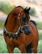 Arabian stallion. | HORSES | Pinterest