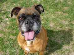 Boxer lovers, look no further: Sophie  Sophie  http://www.chicagotribune.com/lifestyles/pets/adoptions/chi-ugc-article-boxer-lovers-look-no-further-sophie-2015-07-01-story.html
