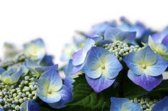 Hydrangeas: The best times to divide hydrangeas are in the fall when the leaves have fallen and the bushes are ready to go dormant, or in early spring before new growth begins.