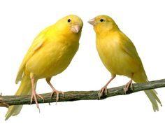canary2transparent.png (1024×827)