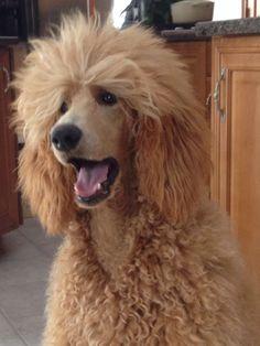 Sophie!                                                                                                                                                                                 More #Poodle