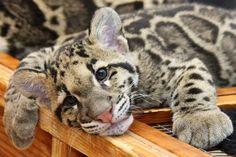 clouded leopard cub San Diego Zoo