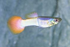 picture of Blue Pinktail Guppy Male Med                                                                         Poecilia reticulata